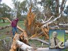 Sullivan na tle drzewa zwalonego przez piorun