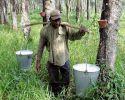 praca w plantacji kauczuku