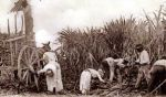 zbiory trzciny cukrowej